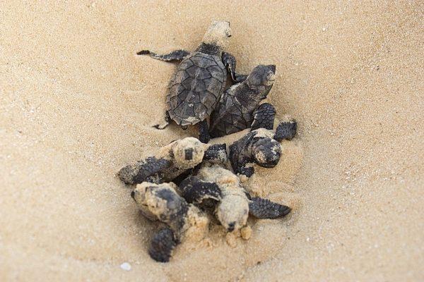 Restoring turtle population