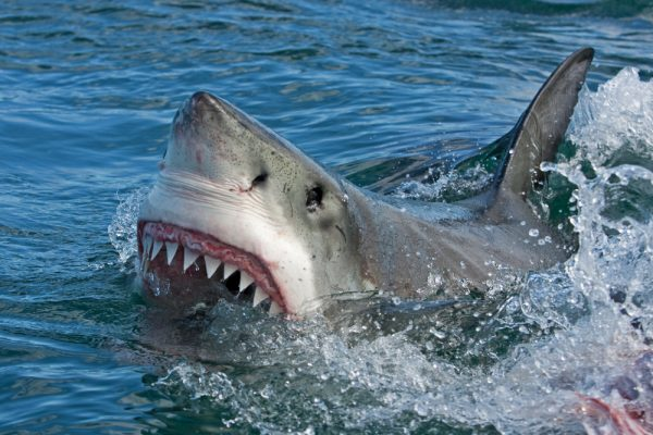 Nat Geo's SHARKFEST returns