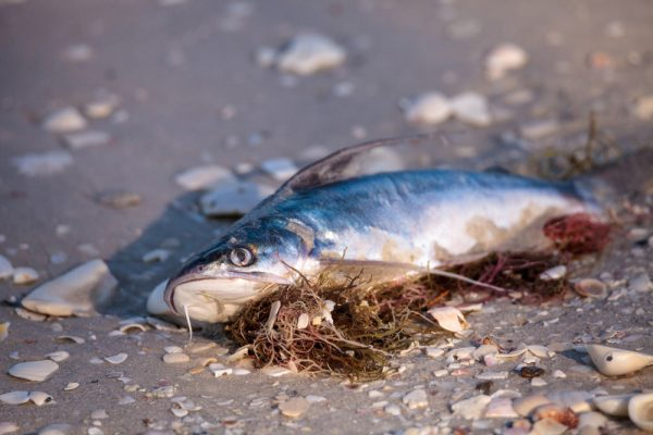 Is red tide returning?