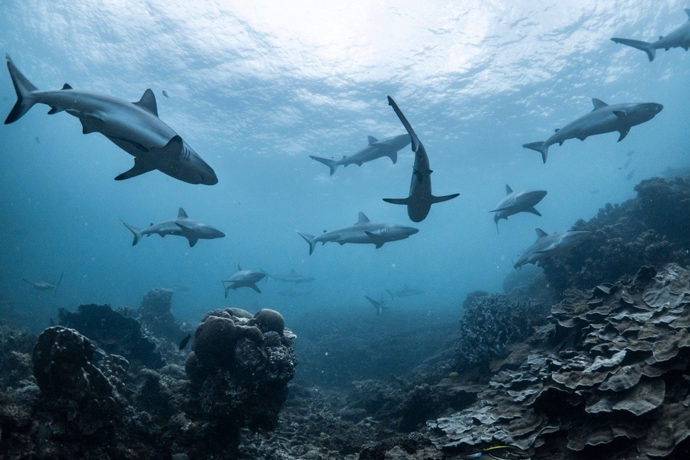 school of sharks