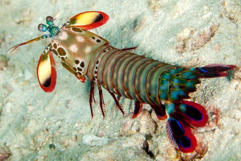 The peacock mantis shrimp out on sand