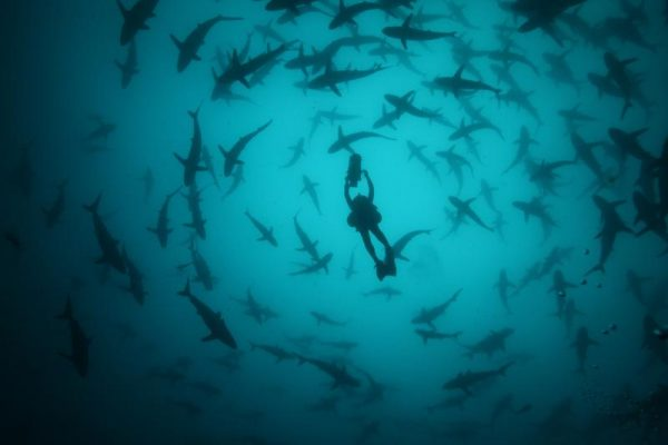 Cameraman/director Didier Noirot is filming in the middle of a herd of silky sharks.  (photo credit: Didier Noirot)