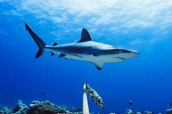 Worldwide survey is lifeline for sharks