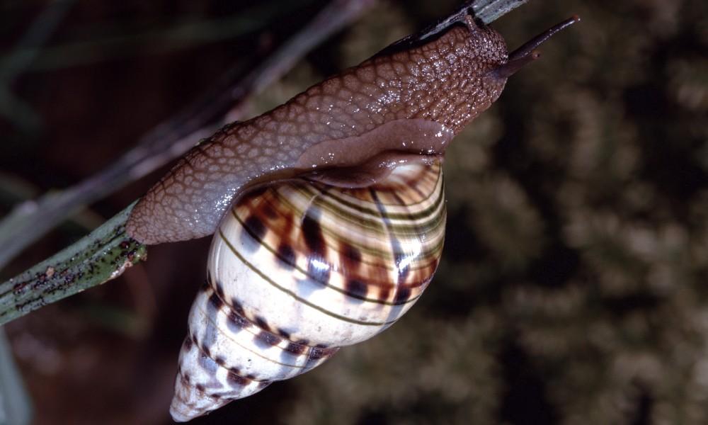 Florida snail