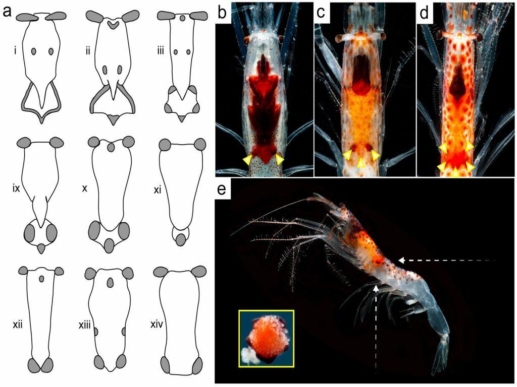 Light organs of deep sea shrimp