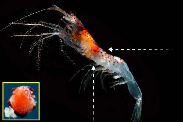 Deep sea shrimp glow, but it doesn't produce a love connection