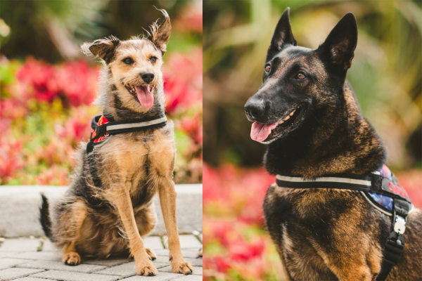 FIU's Covid-19 detector dogs vie for top dog title in the Hero Dog Awards®