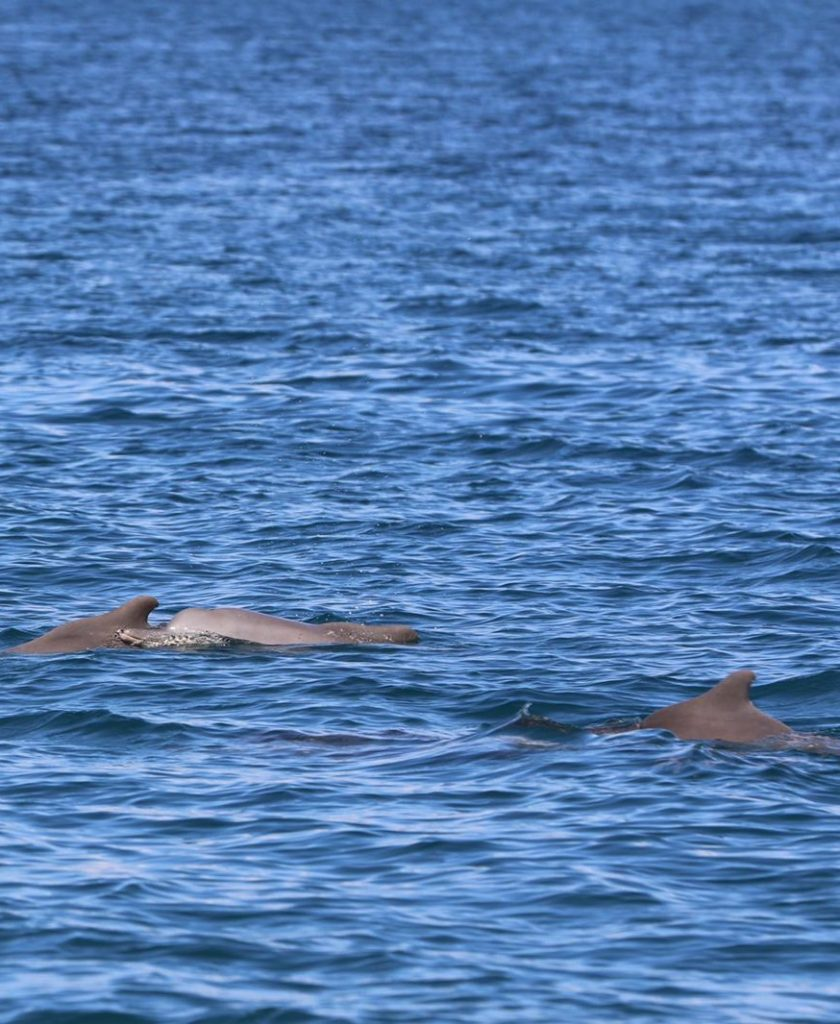 Humpback Dolphins vertical