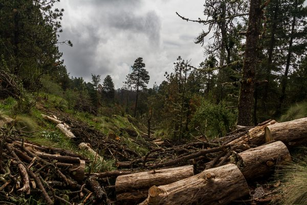 Communities cutting down trees can help confront climate change