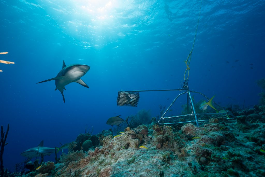 Caribbean Reef Sharks and BRUV
