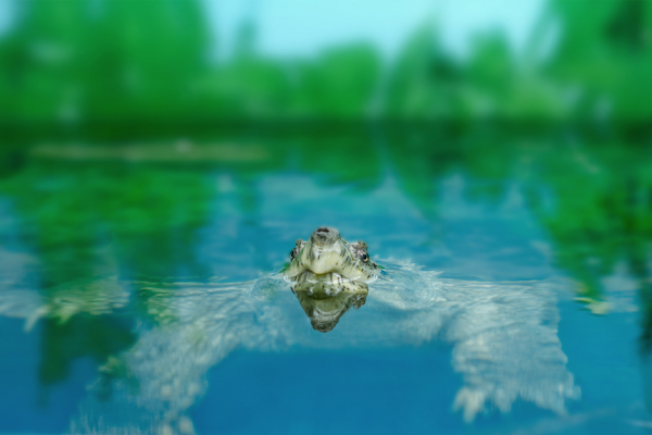 5 things you should know about Matamata turtles