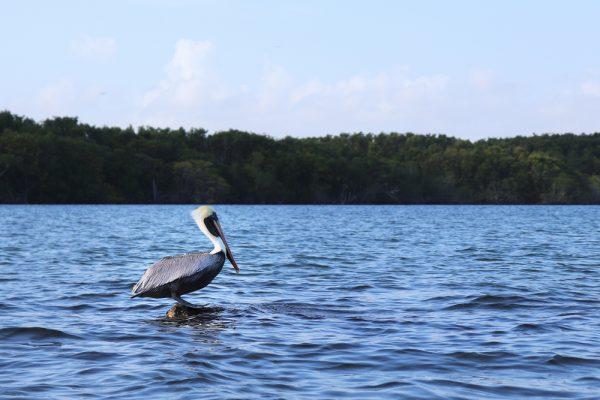 Tropical Audubon Society seeks senior conservation director
