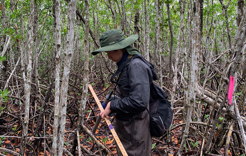 Wong uses meter stick to measure mangroves