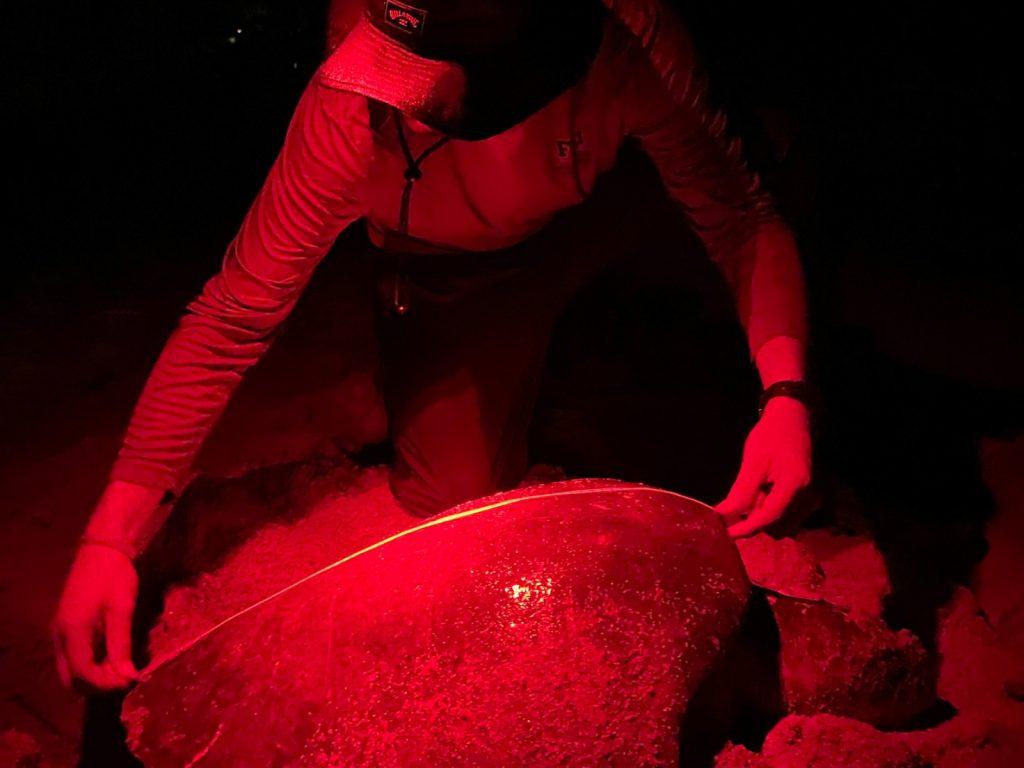Bisbe Ochoa measures an olive ridley sea turtle.
