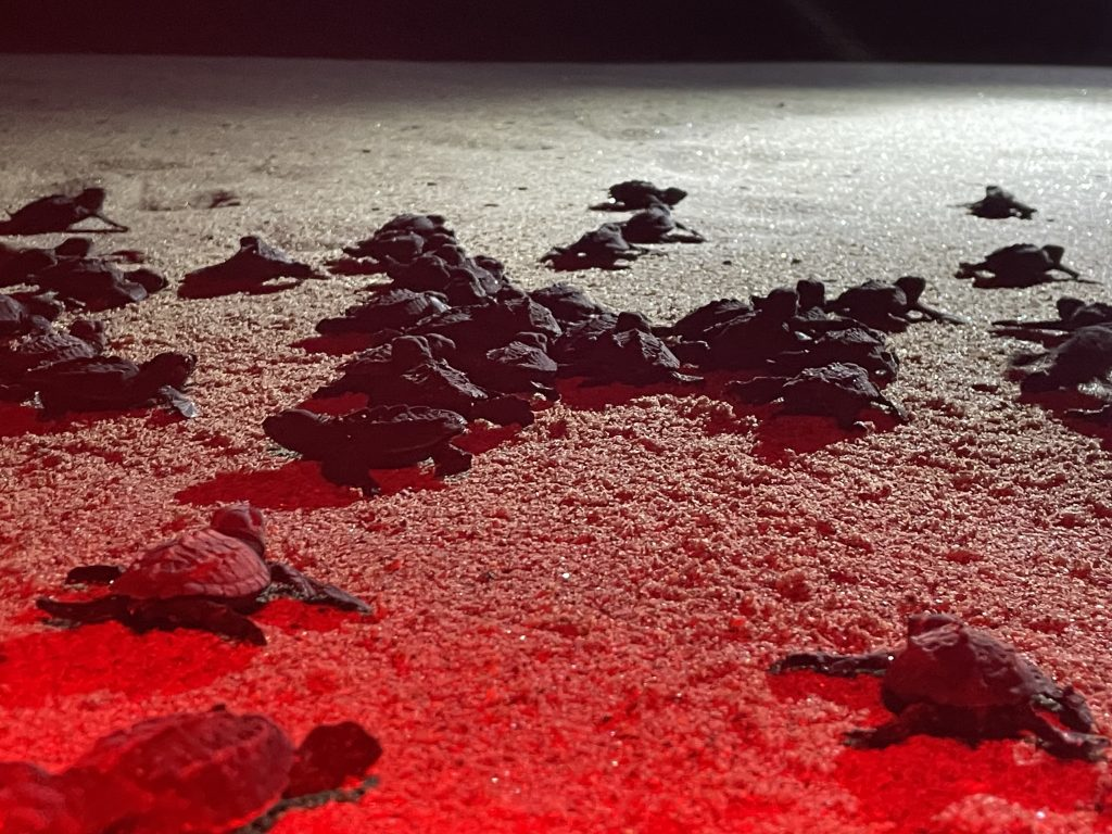 Olive ridley sea turtle hatchlings begin their trek to the shore.